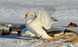 Белый лебедь на снегу.